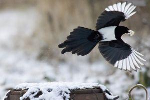 magpie-black-billed